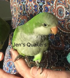 QUAKER BABY PARROTS.   GREEN ONLY.     FEMALE ONLY