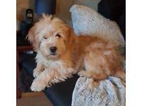 male terrier cross breed