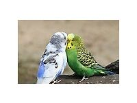 budgies for sale all colours nice large birds £15 for cocks £20 for hens