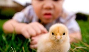 Free kids chicken  workshop - chicks chickens chooks hens Caboolture Caboolture Area Preview