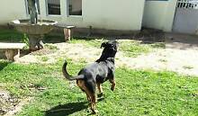 Fit handsome male Rottweiler for sale Surfers Paradise Gold Coast City Preview