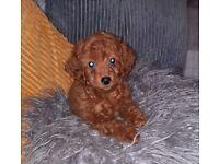 Health tested Cavapoo teddy pups for sale