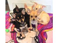 Chihuahua puppies from cornwall