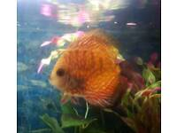 3 discus for sale