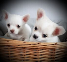 Two stunning Chihuahua boys