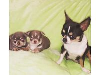 Top quality smooth coat chihuahua puppies