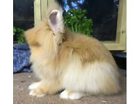 Super cute and sweet orange lionhead buck