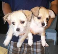 SOLD small adorable mixed breed puppies