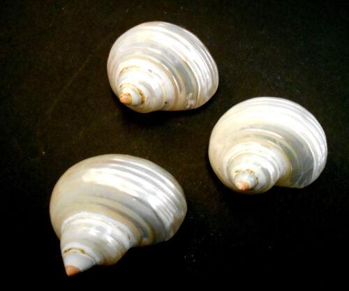 "3 Silver Turbo Shells Seashells Small Hermit Crabs Crafts Beach Decor 1-1 1/2"""