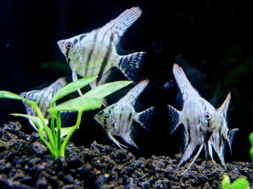 3 Blue Angelfish aquarium breed Tropical Freshwater Angelfish