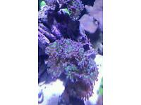 Marine coral hammer