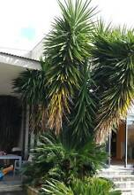 Free 3 Palm Trees Concord Canada Bay Area Preview