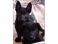 German Shepherd Pups (Pure Black RARE)