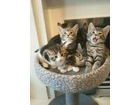 2 Tabby Male Kittens Ready For New Homes Now