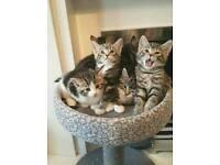 Tabby/White Kittens 2 Boys, 2 Girls