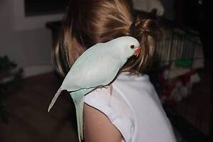 Indian Ringneck - Lacewing Old Bar Greater Taree Area Preview