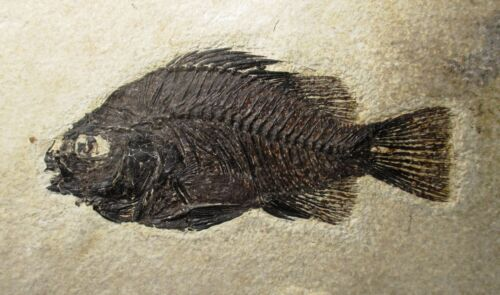 11.5 cm Fossil fish - Priscacara liops - Green River fm, Wyoming Eocene