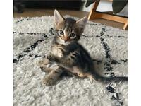TABBY KITTENS FOR SALE - Ready To Leave NOW
