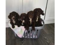 Sprocket spaniel pups 1 girl left ready to go