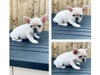 Merle French Bulldogs - Ready now!