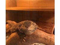 Female bearded dragon with set up