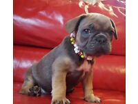 FrenchBulldog for Sale🐶! From£1500