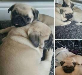 male pug pups