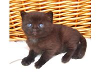 British shorthair/Longhair kittens
