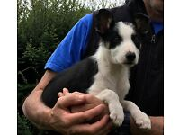Beautiful Tri Coloured Border Collie Pup
