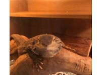 Female bearded dragon an set up