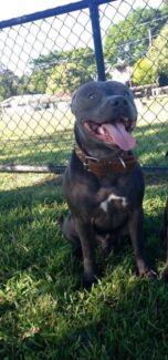 Blue English Staffy pups  Wynnum Brisbane South East Preview