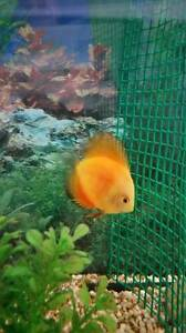 Discus fish Morley Bayswater Area Preview