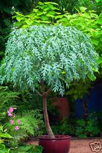 Mountain cabbage tree seed small evergreen tree blue green for Small decorative evergreen trees