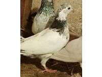 Pigeon for sale young moti breed