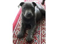 Staffordshire Bull terrier puppy for sale