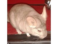 Young male chinchilla for sale.