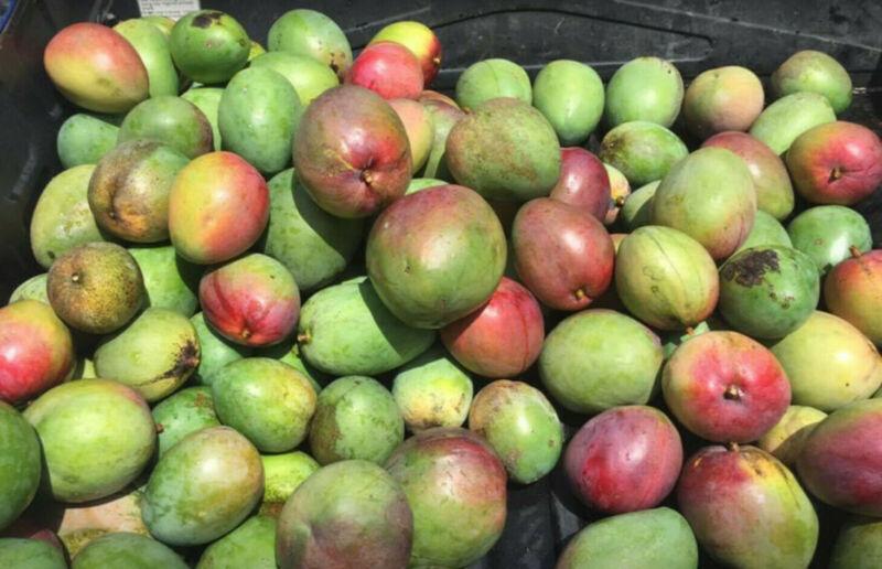 Mangos Fresh FLORIDA Real Fruit 6lbs Fresh, FREE Shipping Mango Season