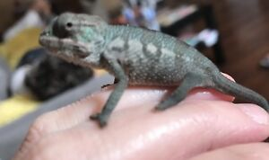 Hatchling PANTHER CHAMELEON. ONE MALE LEFT