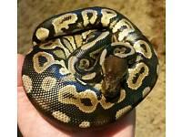 Black pastel Royal python morph