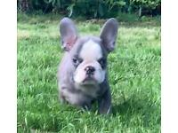 French Bulldog puppies- sold