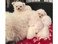 PRA tested 4 beautiful non shedding poochon puppies