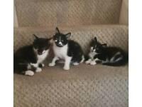 LOVELY BLACK/WHITE KITTENS READY NOW