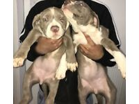 Beautiful female American xl bully puppies blue champagne