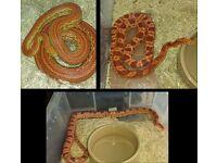 3 Corn Snakes