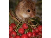 Baby Harvest Mice