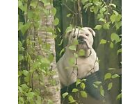 British bulldog, looking for the best of homes