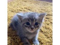 Baby korat cross kittens