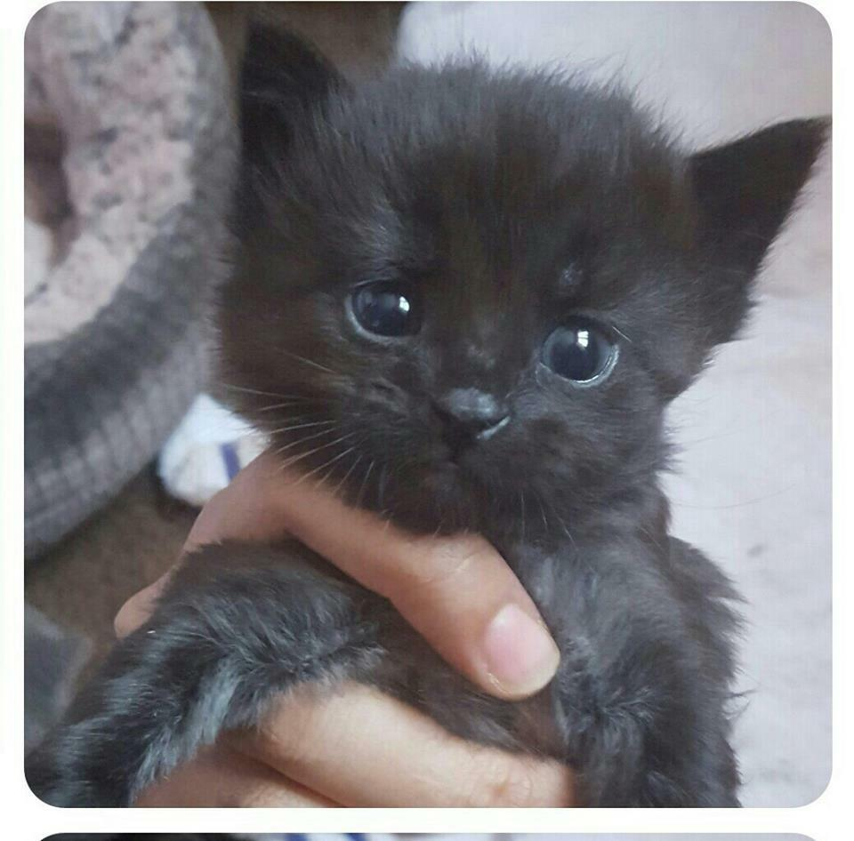Beautiful long haired black grey male kitten for sale £35