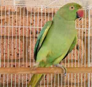Female Indian Ringneck Parrot for Sale Liverpool Liverpool Area Preview