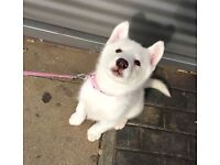 Beautiful White Siberian Husky Girl for Sale